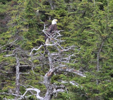One of many bald eagles