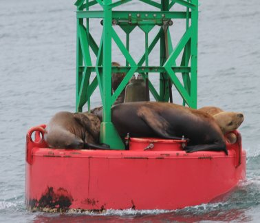 Steller sea lions sleeping on buoy