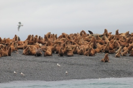 Pile of Steller sea lions on island