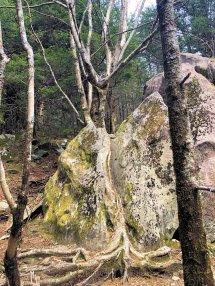 Tree growing through boulder