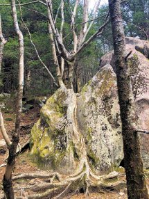 Tree growing through boulder
