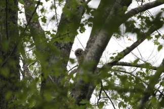 Single juvenile barred owl