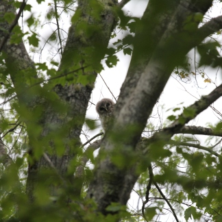 Single juvenile barred owl