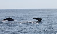 Pair of humpback whales
