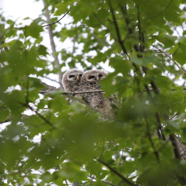 Pair of juvenile barred owls