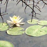 Water lilies on Long Lake
