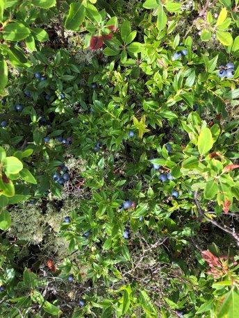 Wild blueberry bush