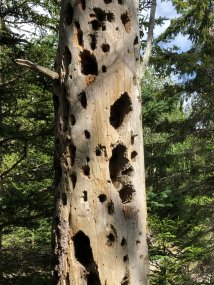 Holes pecked in dead tree by pileated woodpeckers