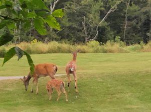 Deer family grazing in neighboring field