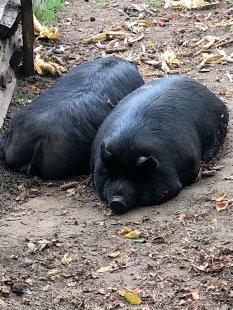 Snoring hogs