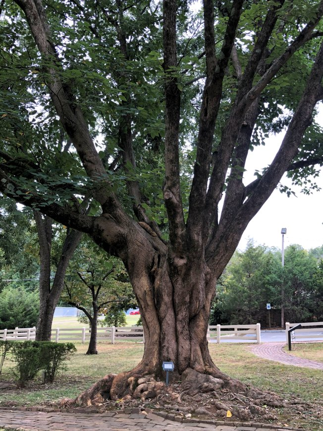 150-year-old fruitless mulberry tree