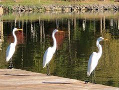 Three egrets on the dock