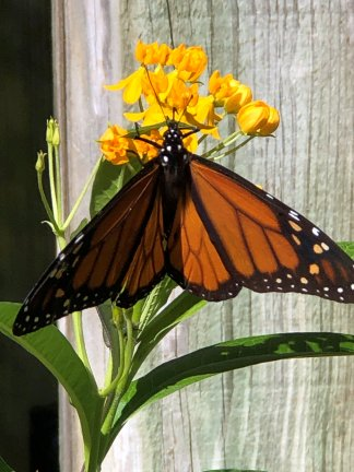 Monarch at butterfly garden