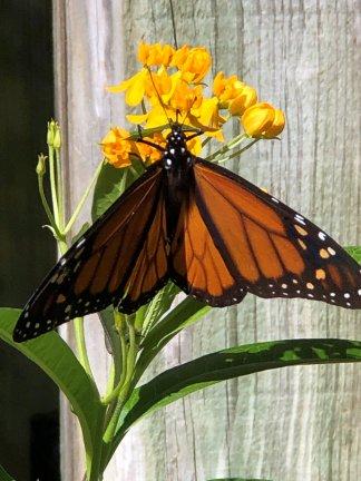 Monarch at butterfly garden