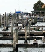 Pelicans on docks