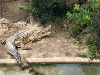 Sleeping crocodile