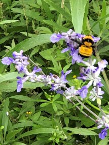 Large bumblebee on a bluebell