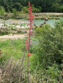 Wildflower along the river