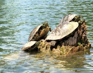 Turtles catching some sun